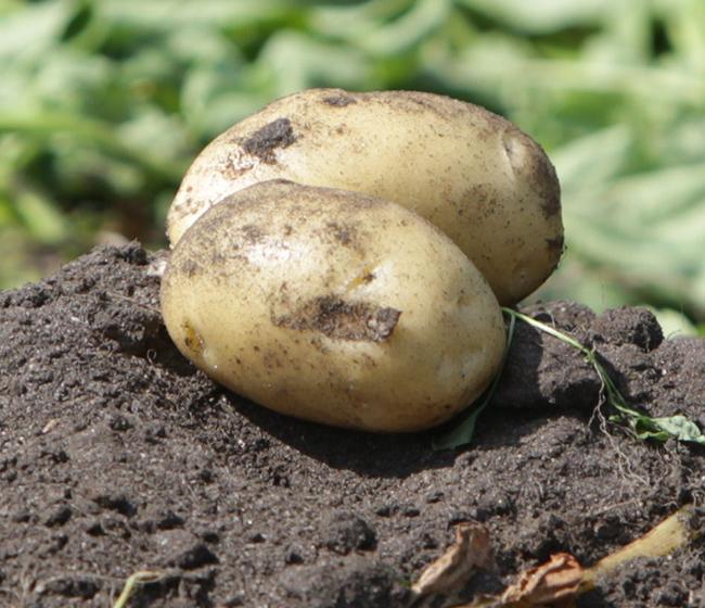 Friske danske kartofler